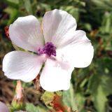 ΑΛΘΑΙΑ (ALTHAEA OFFICINALIS)