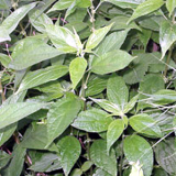 ΠΑΡΙΕΤΑΡΙΑ (PARIETARIA OFFICINALIS)